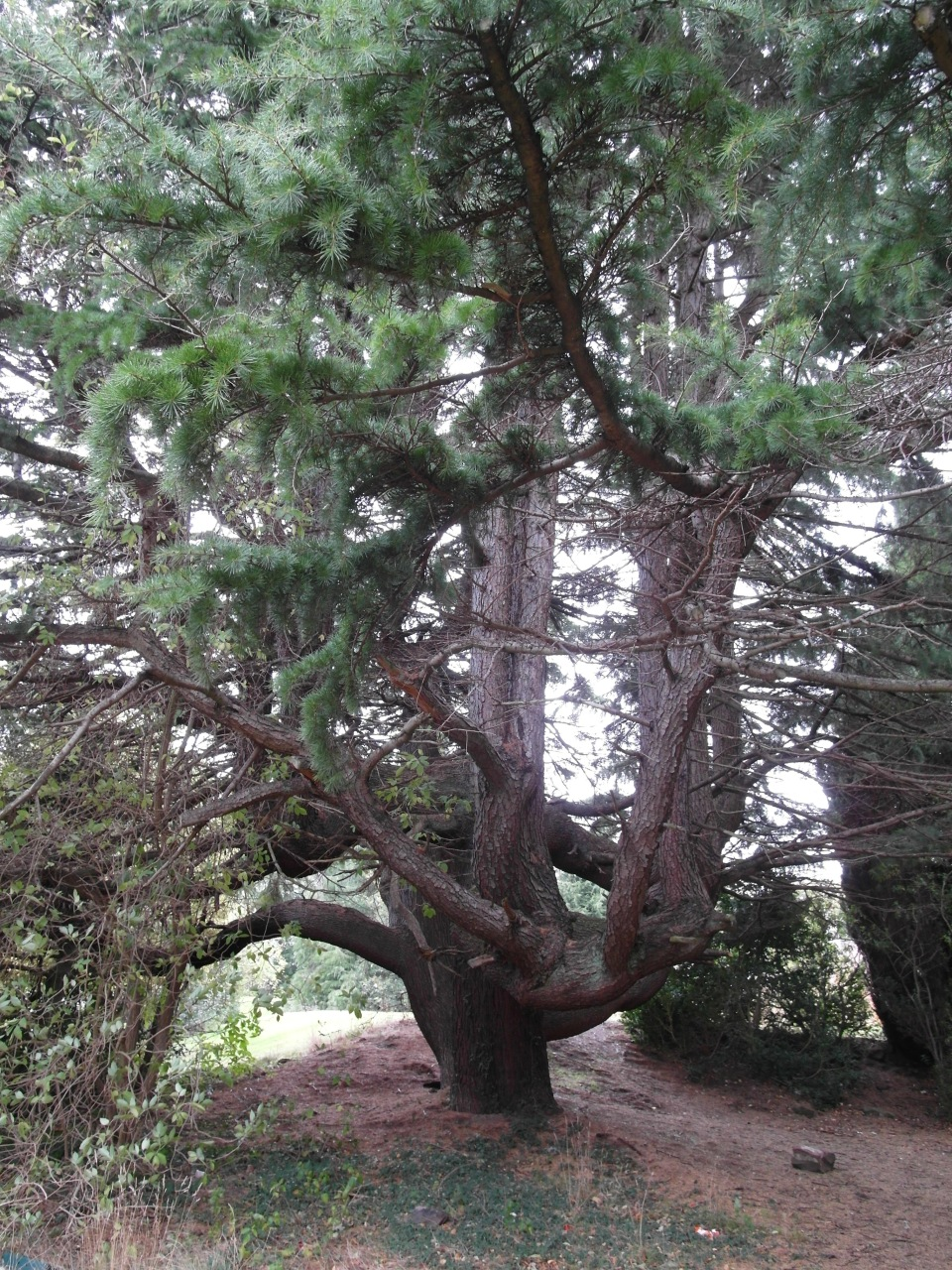 Sara Stevenson, Deodar Cedar, on the Millbank site, September 2018